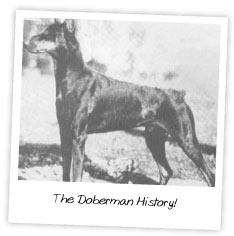 The Doberman History